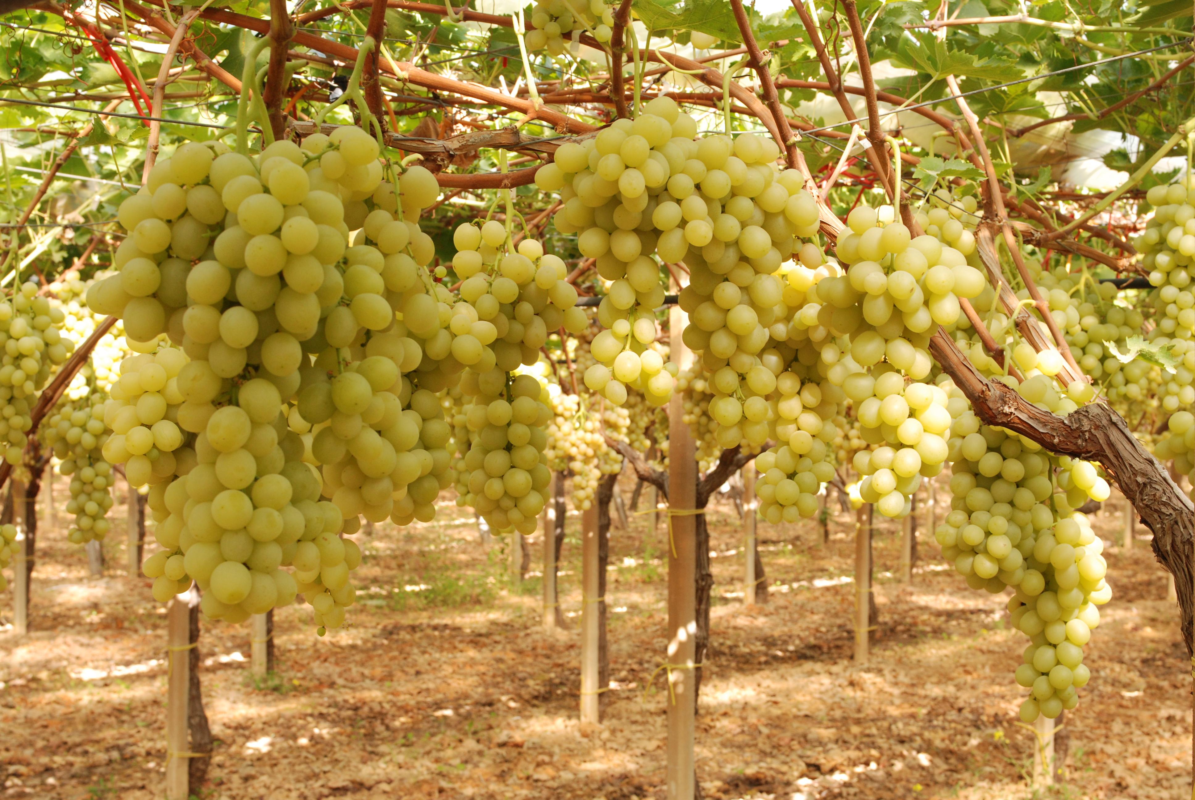 Uva da tavola coldiretti bari campagna ottima per - Uva da tavola coltivazione ...